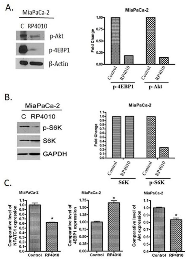 RP4010 inhibited calcium-regulated Akt/mTOR and NFAT signaling. ( A and B ) MiaPaCa-2 cells were grown overnight in 100-mm petri dishes to nearly 50% confluence. The cells were then treated on the following day with RP4010 (10 µM) for 72 h. Protein extraction, determination of protein concentration, SDS-PAGE, and Western blot were performed as described in the Methods ( n = 1). <t>β-actin</t> and <t>GAPDH</t> were used as loading controls. The expression of marker proteins was indicated as fold change relative to the control, and the quantitative analysis of mean pixel density of the blots was performed using ImageJ software. ( C ) MiaPaCa-2 cells were exposed to RP4010 (10 µM) for 48 h. At the end of the treatment period, RNA was isolated and RT-qPCR was performed as described in Methods (* p