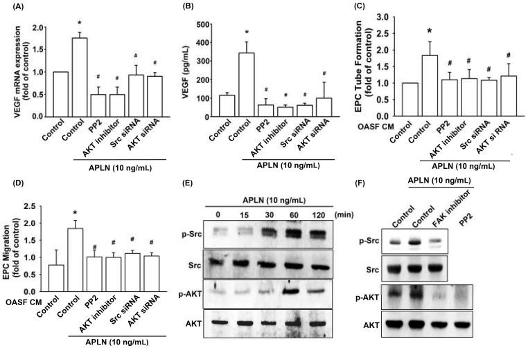 Src and Akt phosphorylation are involved in APLN-induced VEGF synthesis. ( A , B ) OASFs were pretreated with Src/Akt inhibitors for 30 min or Src/Akt siRNAs for 24 h, then incubated with APLN for 24 h. ( A ) VEGF mRNA levels were examined using RT-qPCR ( n = 4), and ( B ) excreted VEGF protein levels were quantified using ELISA assay ( n = 5). ( C , D ) After pretreatment with Src/Akt inhibitors or Src/Akt siRNA and incubation with APLN, the culture medium was collected and subjected to EPC ( C ) tube formation ( n = 5) and ( D ) migration assays ( n = 5). ( E ) OASFs were incubated with APLN, and the extent of Src/Akt phosphorylation was examined using Western blot analysis ( n = 3). ( F ) OASFs pretreated with a FAK inhibitor before APLN incubation were assessed for the extent of Src/Akt phosphorylation, while OASFs pretreated with a Src inhibitor before APLN incubation were assessed for Akt phosphorylation ( n = 3). * p