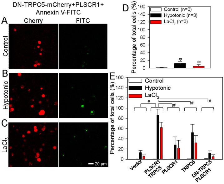 Effect of dominant negative TRPC5 (DN-TRPC5) on phosphatidylserine (PS) externalization in HEK293 cells. ( A – C ) Representative images showing DN-TRPC5-mCherry expression and PS externalization on the plasma membrane of HEK293 cell transfected with DN-TRPC5-mCherry+PLSCR1. The cells were treated with saline (control) ( A ), hypotonic solution ( B ), or LaCl 3 (100 μmol/L) ( C ). ( D ) Summary data showing the PS externalized cells (FITC-positive) in percentage of total cells (%) in A – C . ( E ) Combined summary data showing the PS externalized cells (FITC-positive) in percentage of total cells (%) from Figure 2 , Figure 3 and Figure 4 . The data were from FITC channel. PS externalization was detected as green fluorescence via the annexin V-FITC assay. DN-TRPC5-mCherry was detected as red fluorescence. Values are shown as the mean ± SEM (n = 3); * p