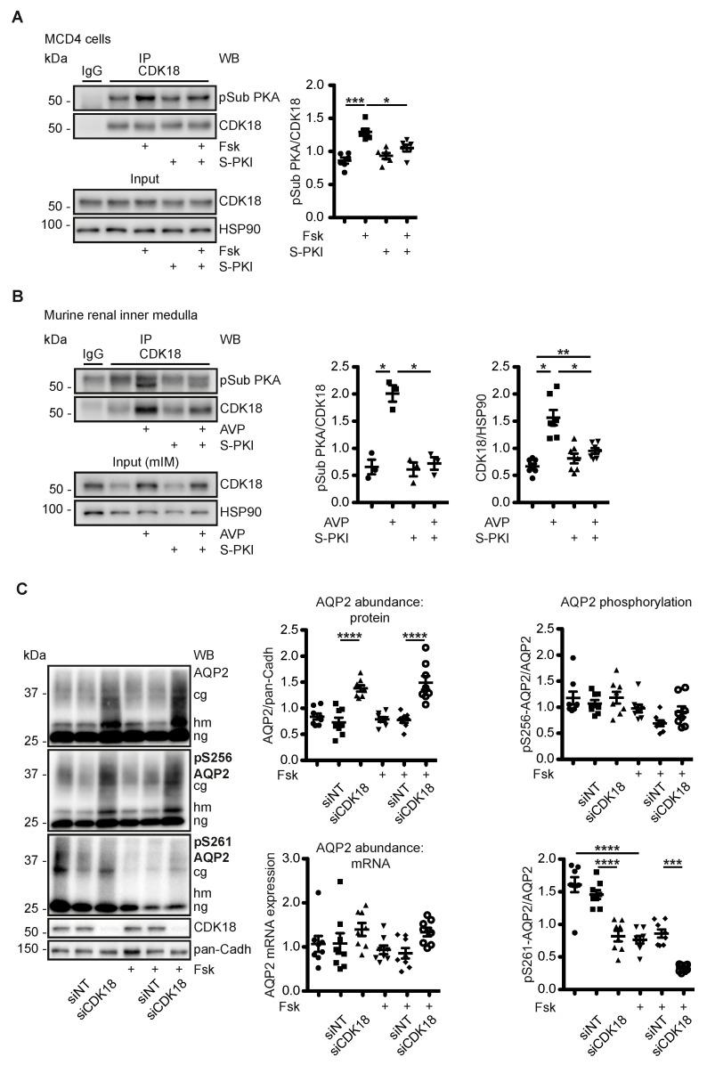 PKA modulates <t>CDK18,</t> which controls AQP2 phosphorylation at S261 and its abundance. ( A ) MCD4 cells or ( B ) murine inner medullae homogenates were left untreated, treated with forskolin (Fsk) or AVP and where indicated with a membrane-permeant version (stearate-coupled) of the PKA-specific heat-stable inhibitor peptide (S-PKI). CDK18 was immunoprecipitated (IP) and detected by Western blotting. The PKA-phosphorylated CDK18 (pSub CDK18) was detected with phospho-PKA substrate antibody. As a control, precipitations were carried out with unrelated IgG. As loading controls in input samples, HSP90 was detected. The Western blots were densitometrically evaluated. Shown are representative results from n ≥ 3 per condition. ( C ) MCD4 cells were left untransfected or transfected with non-targeting (siNT) or CDK18 <t>siRNA,</t> and stimulated with forskolin (Fsk) as indicated. AQP2 protein abundance and phosphorylation of its S256 and S261 were detected by Western blotting with specific antibodies. cg: complex glycosylated, hm: high-mannose, ng: non-glycosylated AQP2. Shown are representative results from n ≥ 8 per condition. The signals were densitometrically analysed. AQP2 mRNA expression was evaluated by PCR. Significant differences are indicated, * p