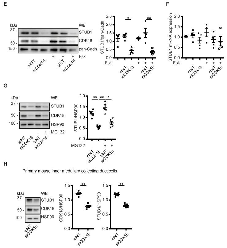 CDK18 regulates STUB1 to control AQP2 ubiquitination, abundance and localisation. ( A ) MCD4 cells were transfected with control non-targeting (siNT) or CDK18 siRNA, lysed and AQP2 was immunoprecipitated (IP). As a control, unrelated IgG was used (IgG). AQP2 and co-immunoprecipitated ubiquitin (Ubi) were detected by Western blotting (WB). Shown are a representative result from n = 4 independent experiments including the input samples where HSP90 was used as a loading control. The signals were semi-quantitatively analyzed by densitometry. Ubiquitin signals larger than 50 kDa were considered as poly-Ubiquitination, while under 50 kDa as oligo-Ubiquitination [ 25 ]. ( B ) CDK18-FLAG kinase dead (K150R) or constitutively active (S12D)-encoding constructs were expressed in MCD4 cells, immunoprecipitated through their Flag tags and the interactomes analysed by mass-spectrometry. The x -axis indicates the abundance ratios of the identified interacting proteins of K150R (negative values) versus S12D (positive values). The y -axis represents the significance of a two-sample moderated t-test by which the proteins were quantified. The dashed line indicates the 5% FDR cut-off based on Benjamini–Hochberg corrected p -values. The identified STUB1 (green) and protein phosphatases (PP, red) subunits are highlighted. ( C ) MCD4 cells were transfected with NT or STUB1 siRNA, lysed and subjected to immunoprecipitation (IP) with anti-AQP2 or control (IgG) antibodies. AQP2, CDK18, STUB1, and in the input samples HSP90 as loading control were detected by Western blotting. Shown are representative results and the densitometric semi-quantitative analysis from n = 4 independent experiments. Ubiquitin (Ubi) signals larger than 50 kDa were considered poly-Ubiquitination, while the ones under 50 kDa were defined as oligo-Ubiquitination [ 25 ]. ( D ) Detection of AQP2 (green) by immunofluorescence microscopic analysis of MCD4 cells transfected with siNT or STUB1 siRNA, and stimulated with forsk