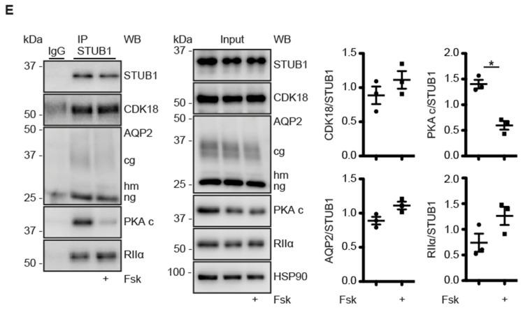 STUB1 organizes a signalosome comprising CDK18, AQP2 and PKA and functions as an A-kinase anchoring protein (AKAP). ( A ) MCD4 cells were lysed and the lysates incubated with the peptide Ht31, which inhibits AKAP-PKA interactions, the inactive peptide Ht31-PP or vehicle and subjected to cAMP-agarose pull down (PD). As negative control, the pull down samples (PD) were incubated with an excess of cAMP. The indicated proteins in the pull down and input samples were detected by Western blotting and the signals were densitometrically evaluated. Shown are representative results from n = 4 independent experiments. ( B ) MCD4 cells were transfected with siRNA against STUB1 or control non-targeting (siNT) and subjected to cAMP-agarose pull down. As a control, the precipitates (PD) were incubated with an excess of cAMP. The indicated proteins were detected by Western blotting and the signals densitometrically evaluated shown are representative results from n = 5 independent experiments. ( C ) MCD4 were lysed and the lysates were left untreated, incubated with the peptide Ht31 or PP-Ht31. STUB1 was immunoprecipitated (IP). As control, precipitations were carried out with unrelated IgG. The indicated proteins in the precipitates and input samples were analyzed by Western blotting. HSP90 served as a loading control. Shown are representative results from n = 4 independent experiments. The signals were semi-quantitatively analysed by densitometry. ( D ) Murine STUB1 was spot-synthesized as 20-mer peptides with 5 residues offset. Spots 1–5 cover amino acids (Aa) 150–190. The spots were incubated with P 32 -labeled recombinant human RIIα subunits of PKA in the absence or presence of the peptide L314E, which inhibits AKAP-PKA interactions. A representative overlay from n = 4 independent experiments is shown. The semi-quantitative densitometric analysis is shown. ( E ) MCD4 cells were left untreated or stimulated with forskolin (Fsk) and STUB1 was immunoprecipitated. As a control, unr