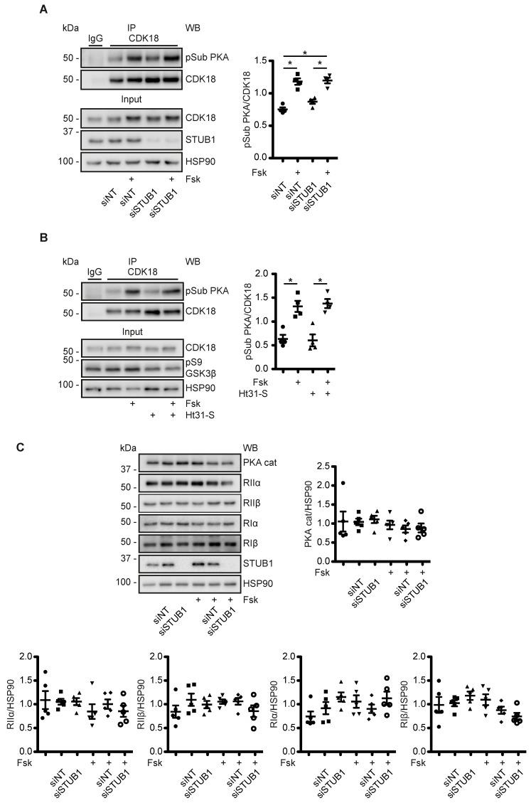 A cytosolic, STUB1-independent pool of PKA phosphorylates CDK18. ( A ) MCD4 cells were transfected with non-targeting (siNT) or STUB1 siRNA and left untreated or were treated with forskolin (Fsk) in the absence or ( B ) presence of a stearate-coupled, membrane-permeant version of the peptide Ht31, which inhibits AKAP-PKA interactions. CDK18 was immunoprecipitated (IP). As control, precipitations were carried out with unrelated IgG. The indicated proteins were detected by Western blotting. Phosphorylated CDK18 (pSub PKA) was detected with an phospho-PKA substrate antibody and CDK18 with specific antibodies; in the input samples, CDK18, STUB1, as a control for the effects of AKAP-PKA disruption, GSK3β phosphorylated by PKA (pS9), and as a loading control HSP90. Shown are representative results from n = 4 independent experiments and the semi-quantitative densitometric analysis. ( C ) MCD4 cells were left untreated or transfected with control non-targeting (siNT) or STUB1 siRNA, and stimulated with forskolin (Fsk) or vehicle. The cells were lysed and the indicated proteins detected by Western blot (WB) analysis. The signals were densitometrically evaluated. Shown are representative results from n = 5 independent experiments. Statistically significant differences are indicated, * p