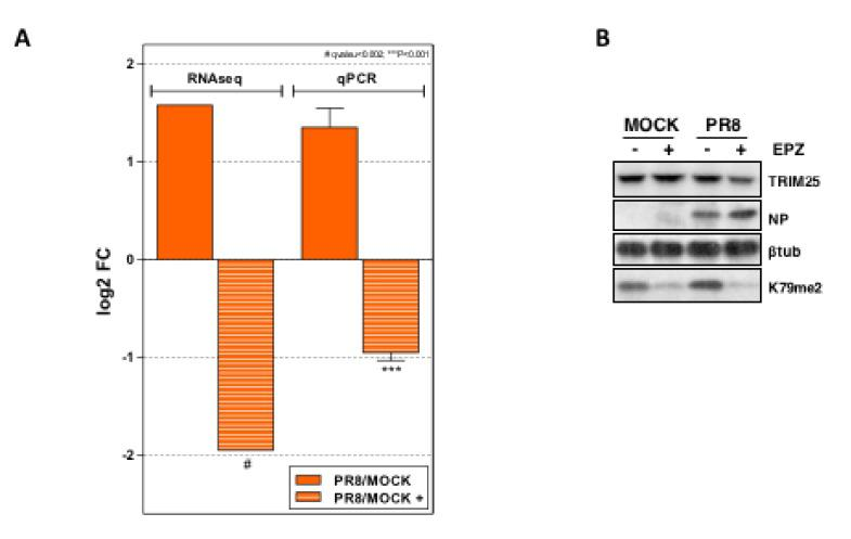 Changes of TRIM25 in control and Dot1L inhibited cells. ( A ) Comparison of the TRIM25 expression from the RNA-seq and qRT-PCR data of A549 cells that were untreated or treated with EPZ (1 μM, 48 h) and then infected with PR8 at MOI 3 for 8 h. The differences between the untreated and treated cells were analyzed and are represented as the log2 fold change. Three technical replicates of three independent experiments for qRT-PCR detection were performed.. ns p > 0.05; * p