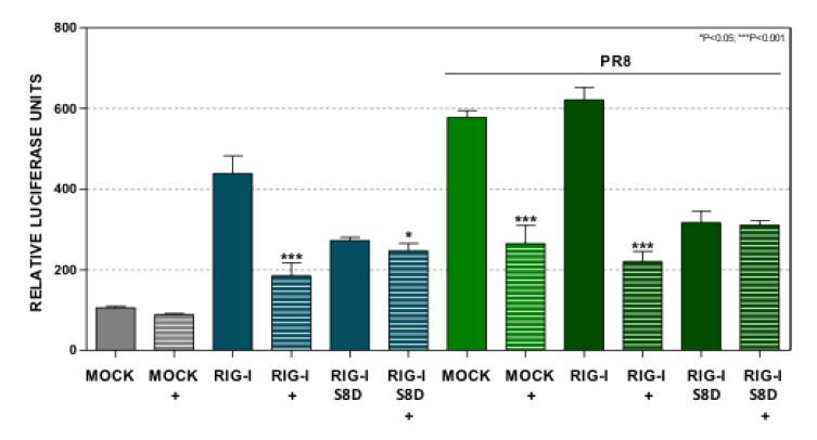 INF-β driven expression triggered by a mutated RIG-I at Ser 8 is not regulated by Dot1L. A549 cells were left untreated (MOCK) or treated with 1 μM EPZ (+) for 48 h. Then the cells were transfected with pIF-LukTer alone (MOCK), or together with plasmids expressing the wild type RIG-I (RIG-I), or a mutated form of RIG-I with a Ser to Asp substitution at position 8 of the CARDS domains (RIG-I S8D). The luciferase activity was evaluated at 16 hpt. The cells were left uninfected or infected with PR8 at MOI 3 for 8 h. Luciferase activity was normalized by Renilla luciferase and it was expressed relative to that of the untreated MOCK condition. Three technical replicates of three independent experiments were analyzed. ns p > 0.05; * p