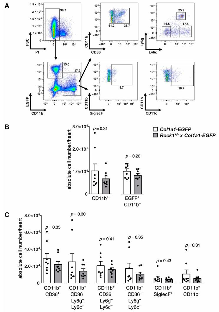 Flow cytometry analysis of cardiac inflammatory cells in wild-type and Rock1 +/− mice at the acute stage of myocarditis. Panel ( A ) shows gating strategy for myeloid (CD11b + ) cell subsets and cardiac fibroblasts (EGFP + CD11b – ) in flow cytometry analysis of hearts obtained from mice with the Coll-EGFP reporter transgene. Analysis of unstained heart sample is shown in Supplementary Figure S2 . Quantifications of total number of myeloid and cardiac fibroblasts, as well as indicated myeloid cell subsets in hearts of Coll-EGFP (n = 8) and Rock1 +/− x Coll-EGFP (n = 8) mice, at day 21 of EAM are shown in panels ( B ) and ( C ), respectively. Each dot represents data for one heart, and bars present mean value ± SEM. p -value was calculated with the unpaired Student's t -test.