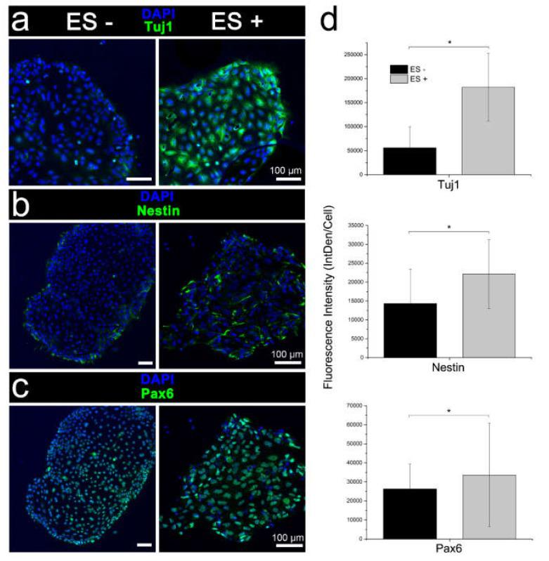 Immunophenotypic characterisation of iPSC differentiation following the conventional chemical induction with (ES+) and without (ES-) electrical stimulation. Expression of ( a ) early neuronal marker Tuj and neuroectodermal progenitor cell markers, ( b ) <t>nestin,</t> and ( c ) <t>Pax6.</t> Electrically stimulated cell cultures were distinguished by a higher antigen expression and diffuse nestin-labelled neurites outgrowths. Scale bars as indicated. ( d ) Quantitative assessment of Tuj1, nestin, and Pax6 immunocytochemistry (integrated density per cell; IntDen/Cell), confirming qualitative assessment. Mean ± S.D.; n = 3–5. One-way analysis of variance (ANOVA) with a Bonferroni post-hoc test. * p
