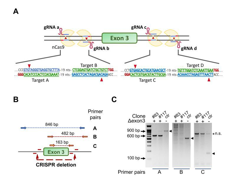 Strategy for ablation of NF-YA exon 3 in C2C12 cells using CRISPR/Cas9n and four gRNAs. ( A ) Gene editing strategy for NF-YA exon 3 deletion using the Cas9-nickase (Cas9n) and four guide RNAs. The targeted sequence by each guide <t>RNA</t> and the deletion sites are shown. Note that Cas9n cuts only the DNA strand that is complementary to and recognized by the gRNA, making necessary the simultaneous presence of two gRNAs/Cas9n complexes to induce a double-strand break (DSB). ( B ) The three primer pairs used to check for positive C2-YAl-KO clones are shown with the specific amplification products highlighted by the dashed lines. ( C ) Example of <t>PCR</t> products run into a 1.2% agarose gel. The expected bands in control cells (ctr) are marked with arrowheads; clones #83 and #117 represent positive C2-YAl-KO clones.