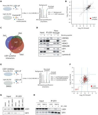 Pharmacological inhibition of LSD1 disrupts its interaction with GFI1. ( A ) Schematic representation of SILAC mass spectrometry approach to identify LSD1 interactors in NB4 cells. LC-MS/MS, liquid chromatography–tandem mass spectrometry. ( B ) Scatterplot showing log 2 (heavy/light) ratio of forward reaction on the x axis (Rep1) and the log 2 (light/heavy) ratio of reverse reaction on the y axis (Rep3). In the top right quadrant are represented LSD1 interactors. The blue dashed lines define the threshold used to define the LSD1 interactors from the background. Proteins belonging to the CoREST complex are shown in red dots. ( C ) Venn diagrams with numbers of individual and overlapping putative LSD1 interactors identified in the three different SILAC replicates. ( D ) Western blot analysis of LSD1 and some identified interactors in LSD1 IPs, with or without blocking peptide. Lamin B1 is used as loading control. ( E ) Schematic representation of SILAC mass spectrometry approach to identify recruited and evicted interactors of LSD1, upon LSD1 pharmacological inhibition with 2 μM MC_2580 for 24 hours. ( F ) Scatterplot showing log 2 (heavy/light) ratio of forward reaction on the x axis and the log 2 (light/heavy) ratio of reverse reaction on the y axis. Proteins recruited by LSD1 after inhibition are present in the top right quadrant, while proteins evicted from the interaction with LSD1 after drug treatment are found in the bottom left quadrant. Proteins previously identified as interactors of LSD1 in NB4 are shown as red dots. The blue dashed lines define the threshold used to determine recruited and evicted proteins. ( G ) Western blot analysis of LSD1 and GFI1 in LSD1 IPs in NB4 cells treated for 24 hours with DMSO, 2 μM MC_2580, or 2 μM DDP_38003. ( H ) Western blot analysis of LSD1 and GFI1 in GFI1 IPs in NB4 LSD1 KO cells transduced with empty vector, wild-type, or catalytic inactive K661A-LSD1, treated with 2 μM MC_2580 or DMSO.