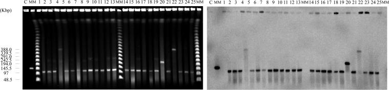 Pulsed-field gel electrophoresis (PFGE) analysis of S1 nuclease-untreated DNA and Southern blotting of the locally spread strains. PFGE analysis of S1 nuclease-untreated DNA (left) and Southern hybridization with a vanA gene probe (right). Lanes: C, AA708, a control strain harboring the linear plasmid pELF1; MM, Lambda Ladder PFG Marker (New England BioLabs); 1, KUHS1; 2, KUHS2; 3, KUHS3; 4, KUHS4; 5, KUHS5; 6, KUHS6; 7, KUHS7; 8, KUHS8; 9, KUHS9; 10, KUHS10; 11, KUHS11; 12, KUHS12; 13, KUHS13; 14, KUHS14; 15, KUHS15; 16, KUHS16; 17, KUHS17; 18, KUHS18; 19, KUHS19; 20, KUHS20; 21, KUHS21; 22, KUHS22; 23, KUHS23; 24, KUHS24; 25, KUHS25.