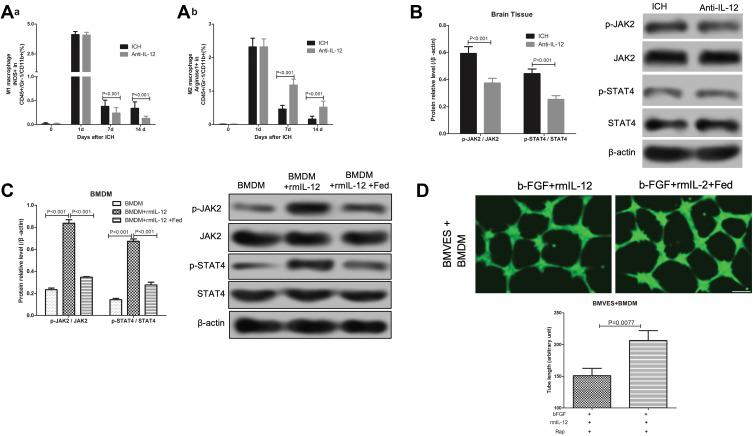 Effect of IL-12 blockade on M2 macrophage activation and JAK2/STAT4 pathway in hematoma border zone of ICH rats. ( A ) Flow cytometry analysis of iNOS+ (a) and Arginase1+ (b) cells in CD45+Gr-1-CD11b+ macrophages in hematoma border zone of ICH rats and ICH rats treated with anti-IL-12 at 7 days after ICH, 7 rats per group; ( B ) JAK2, p-JAK2, STAT4 and p-STAT4 protein expression in hematoma border zone of ICH rats and ICH rats treated with anti-IL-12 at 7 days after ICH, 7 rats per group; ( C ) JAK2, p-JAK2, STAT4 and p-STAT4 protein expression in BMDM after rmIL-12 and Rap treatment, 3 independent experiments; ( D ) Calcein staining was used to detect the tubule formation of BMVES in tubule formation experiment, 3 independent experiments.