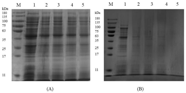 SDS-PAGE analysis of S. aureus ATCC 13565 proteins after treatment with ATCE at ( A ) 1 MIC and ( B ) 2 MIC. Lane M: marker. Lanes 1: control; Lanes 2, 3, 4, and 5: samples treated for 3, 6, 9, and 12 h, respectively.