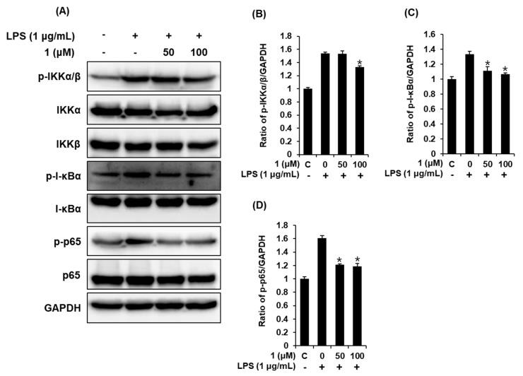 Effects of compound 1 on the LPS-induced expression of the IKKα/β (IκB kinase alpha/beta), I-κBα (inhibitor of kappa B alpha), and NF-κB p65 proteins in RAW 264.7 mouse macrophages. ( A ) Representative Western blots of IKKα/β, I-κBα, NF-κB p65, and glyceraldehyde 3-phosphate dehydrogenase (GAPDH) protein expression. Quantitative graph of ( B ) p-IKKα/β, ( C ) p-I-κBα, and ( D ) p-p65 (mean ± SD, * p