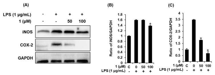 Effects of compound 1 on the LPS-induced expression of iNOS and COX-2 in RAW 264.7 mouse macrophages. ( A ) Representative Western blots of iNOS, COX-2, and GAPDH protein expression. Quantitative graph of ( B ) iNOS and ( C ) COX-2 (mean ± SD, * p