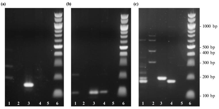 Gel electrophoresis of DNA extracted from different palm species to test the specificity of different sets of primer. Lane 1: Chilean wine palm ( Jubaea chilensis ); lane 2: oil palm ( Elaeis guineensis ); lane 3: coconut palm ( Cocos nucifera ), lane 4: jelly palm ( Butia capitata ); lane 5: non-template sample with water; lane 6: 100 bp DNA ladder. ( a ) PCR amplification with the primer set cocosPRK. ( b ) PCR amplification using the primer set cocosITS109. ( c ) PCR amplification performed with the primer set cocosITS197.