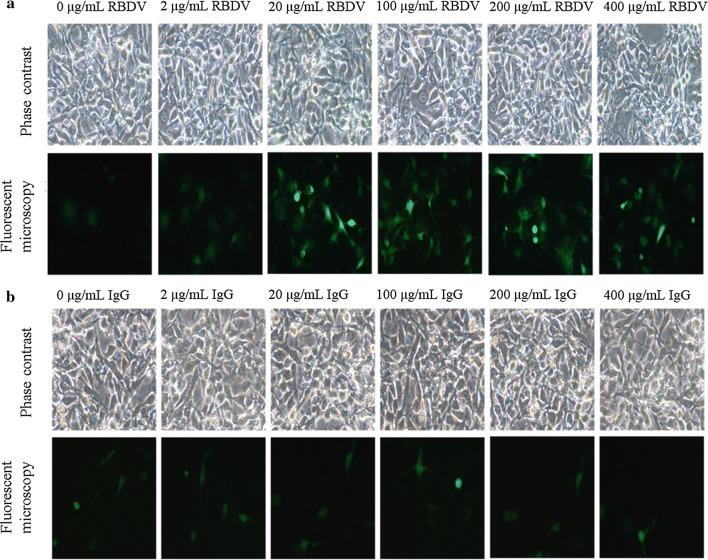 In vitro transfection efficiency of the LPPC/DNA/RBDV complexes. Different concentrations of a RBDV complexes or b IgG1 Fc with 5 μg of DNA and 50 μg of LPPC were transfected into B16-F10 cells, and the cells were observed under a microscope 48 h after transfection. LPPC, which encapsulated with RBDV or IgG1 Fc, were all complexed by PEG