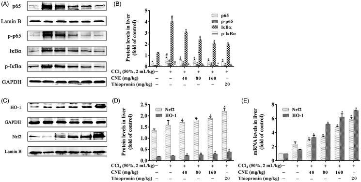CNE inhibited the NF-κB signalling pathway in rats with ALI. (A,B) The protein levels of p65, p-p65, IκBα and p-IκBα in liver tissues. Lamin B was used as the control for p65 in nuclear protein, and GAPDH was used as the control for p-p65, IκBα and p-IκBα in cytoplasmic proteins ( n = 3). (C,D) CNE activated the Nrf2 signalling pathway in rats treated with CCl 4 . The protein levels of Nrf2 and HO-1. Lamin B was used as the control for Nrf2 in nuclear protein and GAPDH was used as the control for HO-1 in total proteins. These values were expressed as the ratio of the optical density value of each target protein to that of its control protein. (E) The mRNA levels of Nrf2 and HO-1. The values are expressed as the fold increase of RQ value normalized to the control group values (control = 1; n = 3). The results were represented as mean ± SD.
