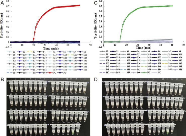 Specificity of the reverse transcription loop-mediated isothermal amplification (RT-LAMP) assay for SARS-CoV-2 detection. A, B: Specificity of the RT-LAMP assay with primer set orf1ab-4 targeted the orf1ab gene for SARS-CoV-2 detection; C, D: Specificity of the RT-LAMP assay with primer set S-123 targeted the S gene for SARS-CoV-2 detection. The detection was monitored by turbidity using a Loopamp real-time turbidimeter (A1, B1), and was judged by the naked eye depending on a color change from orange to green (A2, B2). S1: HCoV-229E-1; S2: HCoV-229E-2; S3: HCoV-NL63-1; S4: HCoV-NL63-2; S5: HCoV-NL63-3; S6: HCoV-OC43-1; S7: HCoV-OC43-2; S8: HCoV-HKU1-1; S9: HCoV-HKU1-2; S10: H3N2-1; S11: H3N2-2; S12: H3N2-3; S13: H3N2-4; S14: H1N1-1; S15: H1N1-2; S16: influenza B-1; S17: influenza B-2; S18: influenza B-3; S19: PIV-1-1; S20: PIV-1-2; S21: PIV-2-1; S22: PIV-2-2; S23: PIV-3-1; S24: PIV-3-2; S25: PIV-4-1; S26: PIV-4-2; S27: ADV-1-1; S28: ADV-1-2; S29: ADV-2-1; S30: ADV-2-2; S31: ADV-3-1; S32: ADV-3-2; S33: ADV-4-1; S34: ADV-5-1; S35: ADV-5-2; S36: ADV-6-1; S37: ADV-7-1; S38: ADV-7-2; S39: RSV A-1; S40: RSV A-2; S41: RSV B-1; S42: RSV B-2; S43: HMPV-1; S44: HMPV-2; S45: BoV-1; S46: BoV-2; S47: Rh A-1; S48: RhA-2; S49: Rh B-1; S50: RhB-2; S51: Rh C-1; S52: MP-FH; S53: MP-M129; S54: Haemophilus influenzae ; S55: Staphylococcus aureus ; S56: Klebsiella pneumoniae ; S57: Streptococcus pneumoniae ; S58: Pseudomonas aeruginosa ; S59: SARS-CoV; S60: MERS-CoV; PC, positive control (pseudo-virus); NC, negative control (distilled water).