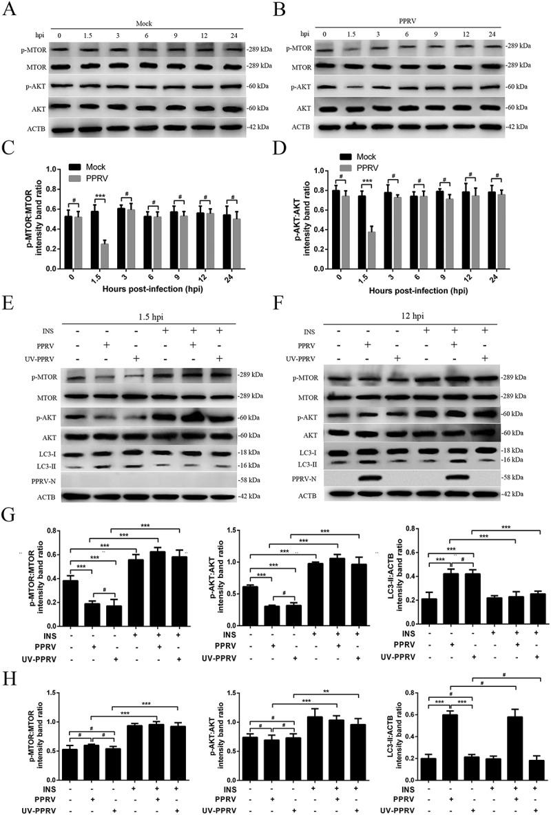 The role of the AKT-MTOR pathway in PPRV-induced autophagy in host cells. (A and B) EECs were mock-infected or infected with PPRV (MOI = 3). The cells were harvested at 1.5, 3, 6, 9, 12 and 24 h and then immunoblotted with anti-p-MTOR, anti-MTOR, anti-p-AKT, anti-AKT, and anti-ACTB antibodies. (C) The p-MTOR levels relative to the MTOR levels were determined by densitometry. (D) The p-AKT levels relative to the AKT levels were determined by densitometry. (E and F) EECs were pre-treated with INS (1 μM) for 6 h prior to viral infection. Then, the cells were infected with PPRV or UV-irradiated PPRV (MOI = 3) for 1.5 or 12 h. The cell samples were analyzed by immunoblotting with anti-p-MTOR, anti-MTOR, anti-p-AKT, anti-AKT, anti-LC3, anti-PPRV-N and anti-ACTB (loading control) antibodies. (G) The relative target protein levels in the INS-pre-treated cells at 1.5 hpi were determined by densitometry. (H) The relative target protein levels in the INS-pre-treated cells at 12 hpi were determined by densitometry. The data represent the mean ± SD of three independent experiments. Two-way ANOVA; ** P