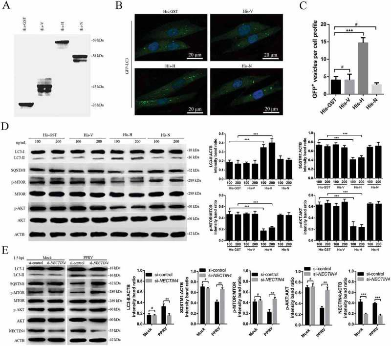 PPRV-H and NECTIN4 are sufficient to induce the first wave of autophagy via AKT and MTOR dephosphorylation. (A) His-tagged V, H and N were expressed in E. coli BL-21 and purified using Ni-NTA columns. The purified products were separated using SDS-PAGE and analyzed by immunoblotting with an anti-His antibody. (B) EECs were transfected with GFP-LC3 for 24 h and incubated with 100 ng/mL His-GST, His-V, His-H, or His-N for 1.5 h. Autophagy was monitored by evaluating the number of GFP + -LC3 vesicles per cell profile by confocal immunofluorescence microscopy. Scale bars, 20 μm. (C) Corresponding graph representing the numbers of GFP + -LC3 vesicles per cell profile in EECs pre-treated with His-GST, His-V, His-H, or His-N. (D) EECs were cultured in DMEM/F12 supplemented with 2% fetal bovine serum containing His-GST, His-V, His-H or His-N for 1.5 h and analyzed by immunoblotting with anti-LC3, anti-SQSTM1, anti-p-MTOR, anti-MTOR, anti-p-AKT, anti-AKT, and anti-ACTB (loading control) antibodies. The relative target protein levels were determined by densitometry in His-GST, His-V, His-H and His-N pre-treated cells. (E) EECs were treated with si-control or si- NECTIN4 and infected with PPRV (MOI = 3) for 1.5 h. The cell samples were analyzed by immunoblotting with anti-LC3, anti-SQSTM1, anti-p-MTOR, anti-MTOR, anti-p-AKT, anti-AKT, anti-NECTIN4 and anti-ACTB (loading control) antibodies. The relative target protein levels in the siRNA-transfected cells were determined by densitometry. The data represent the mean ± SD of three independent experiments. Two-way ANOVA; ** P