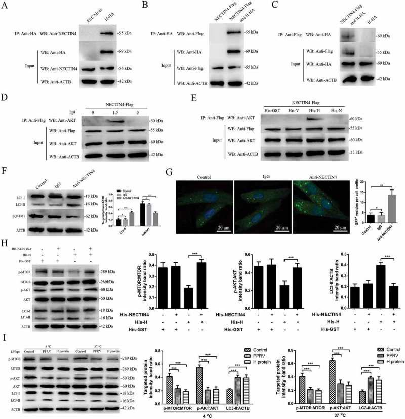 PPRV-H binding to NECTIN4 triggers autophagy via AKT-MTOR dephosphorylation. (A) Co-IP assay results demonstrating that endogenous NECTIN4 binds to H-HA in transfected cells. EECs were transfected with pCDNA3.1-H-HA for 48 h and harvested. Cell lysates from transfected cells and untransfected control cells were immunoprecipitated with an antibody against HA and then subjected to immunoblotting. (B) Exogenous NECTIN4-Flag and H-HA coexpression in EECs. Cell lysates from cells co-transfected with NECTIN4-Flag and H-HA or transfected with NECTIN4-Flag alone were immunoprecipitated with an antibody against HA and then subjected to immunoblotting. (C) Results of reciprocal co-IP experiments showing that the anti-Flag antibody precipitated H-HA. (D) EECs were transfected with pCDNA3.1-NECTIN4-Flag for 48 h and then infected with PPRV (MOI = 3) for 1.5 or 3 h. Cell lysates from the transfected cells were immunoprecipitated with an antibody against Flag and then subjected to immunoblotting. (E) EECs were transfected with pCDNA3.1-NECTIN4-Flag for 48 h and then incubated with 100 ng/mL His-GST, His-V, His-H, or His-N for 1.5 h. Cell lysates from the transfected cells were immunoprecipitated with an antibody against Flag and then subjected to immunoblotting. (F) Immunoblotting was performed using anti-LC3 and anti-SQSTM1 antibodies on lysates from EECs cultured in uncoated plates or in plates coated with anti-NECTIN4 or an irrelevant isotype control IgG for 4 h at 37°C. The target protein levels relative to the ACTB levels in cells pre-treated with anti-NECTIN4 or an irrelevant isotype control IgG were determined by densitometry. (G) EECs were transfected with GFP-LC3 for 24 h and cultured in plates coated with the irrelevant isotype control IgG or anti-NECTIN4 for 4 h. Autophagy was monitored by evaluating the number of GFP + -LC3 vesicles per cell profile by confocal immunofluorescence microscopy. Scale bars, 20 μm. The corresponding graph shows the number of GFP + -LC3 ves