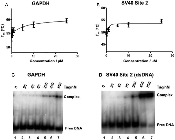 Binding of SV40 Tag to dsDNA. (A, B) Interaction of SV40 Tag with nonspecific GAPDH dsDNA ( A ) and Tag recognition Site 2 dsDNA ( B ) measured by DSF. The experiments were performed using SV40 Tag set at a fixed concentration of 1 μM and titrations of GAPDH dsDNA or SV40 site 2-containing dsDNA as in Figure 1 for ssDNA. (C, D) EMSA analyses of SV40 Tag (20, 40, 80, 200, 400, and 800 nM; lanes 2–7) incubated with 10 fmol of radioactively labeled nonspecific dsDNA (GAPDH sequence, C ) or SV40 site 2-containing sequence ( D ). For comparison, the gel shift of each DNA sample was also analyzed in the presence of only assay buffer (lane 1). Experiments were carried out as in Figure 1 .