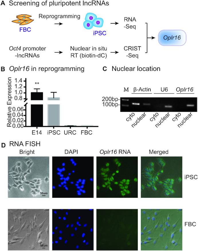 Identification of Oplr16 as a pluripotent lncRNA. ( A ) Identification of Oplr16 as a pluripotency-associated lncRNA by integrating RNA-seq and CRIST-seq. RNA-seq was used to identify RNAs that are differentially expressed between fibroblasts and iPSCs collected in the process of reprogramming. In CRIST-seq, the Oct4 promoter was targeted by the expression of the Cas9 Oct4 -gRNA. LncRNAs interacting with Oct4 promoter were reverse transcribed in situ into <t>cDNA</t> with biotin-dCTP. After immunoprecipitation, biotin-cDNAs were purified by streptavidin beads for <t>Illumina</t> sequencing. Both sets of databases were integrated to identify the pluripotency-associated lncRNA Oplr16 . ( B ) Reactivation of Oplr16 in reprogramming. Fibroblasts were transfected with a Oct4-Sox2-Kilf4-c-Myc (OSKM) lentivirus. Cells were collected at various stages of reprogramming and expression of Oplr16 was measured by qPCR. E14: mouse embryonic pluripotent stem cell line used as a positive control; iPSC: induced pluripotent stem cells; non-iPSC: un-reprogrammed cells that express four OSKM factors, but fail to complete reprogramming; FBC: fibroblasts. β-Actin was used as the PCR control. ** P