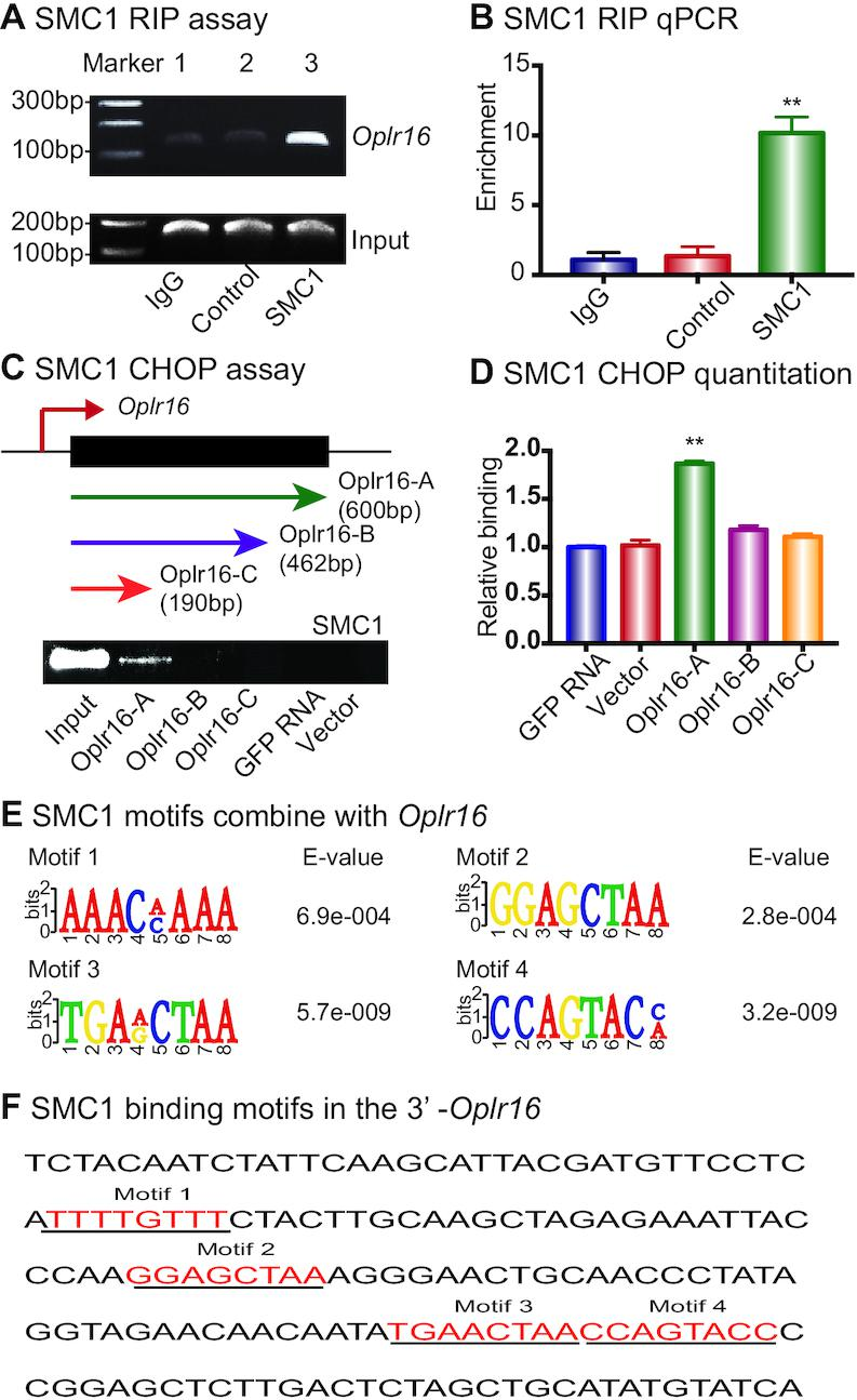 Oplr16 interacts with chromatin factor SMC1. ( A ) Interaction of Oplr16 with SMC1 by RNA-chromatin immunoprecipitation (RIP). The SMC1–lncRNA chromatin complex was immunoprecipitated with an antibody against SMC1. The immunoprecipitated RNAs were reverse transcribed and the SMC1-interacting Oplr16 was measured by PCR. IgG was used as the antibody control. Input: aliquot DNAs collected during the RIP assay. ( B ) Quantitative RIP PCR of the Oplr16 -SMC1 interaction. ( C ) Identification of the SMC1 binding fragment in Oplr16 . The chromatin oligo affinity precipitation (CHOP) assay was used to determine the specific fragment of Oplr16 that interacts with SMC1. Top panel: Schematic diagram of CHOP mapping. Three different sizes of biotin-labeled Oplr16 fragments were synthesized and bound to streptavidin agarose beads. Recombinant SMC1 proteins were incubated with biotin- Oplr16 streptavidin beads. After elution, the Oplr16 -interacted SMC1 proteins were analyzed by Western immunoblotting. Only the full-length Oplr16 showed the interaction with SMC1 (Oplr16-A). GFP RNA was used as the negative control. Input: SMC1 protein. ( D ) Quantitation of the interaction of SMC1 with Oplr16 fragments. ( E ) Consensus RNA binding motifs of SMC1 by RIP-seq. ( F ) The presence of SMC1 motifs in the Oplr16 3′-fragment.
