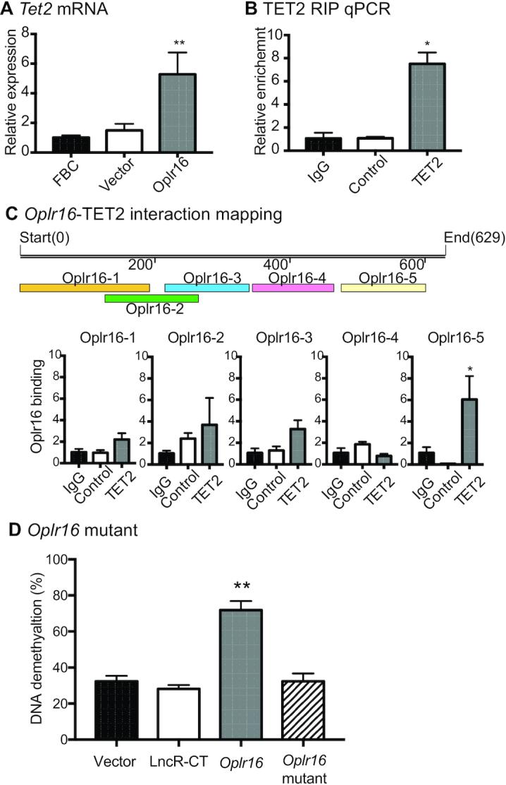 Oplr16 recruits TET2 to induce DNA demethylation. ( A ) After lentivirus transfection, fibroblasts were collected and quantitative PCR was used to determine the expression of the Tet2 gene. In Oplr16 transfected fibroblasts, Tet2 was upregulated compared to untreated fibroblasts and control vector transfected fibroblasts. ( B ) Interaction of Oplr16 with TET2 enzyme by RNA-chromatin immunoprecipitation (RIP). The TET2- Oplr16 lncRNA chromatin complex was immunoprecipitated with an antibody against TET2. After de-crosslinking, the immunoprecipitated RNAs were reverse transcribed. The TET2-interacting Oplr16 was measured by quantitative PCR. IgG was used as the antibody control. Input: aliquot DNAs collected during the RIP assay. ( C ) Identification of the TET2 binding fragment by RIP mapping. After immunoprecipitation with a TET2 antibody, the TET2-interacting Oplr16 lncRNA fragments were mapped by quantitative PCR using overlapping primers (color panels). The Oplr16 -5 (3′fragment) showed strong binding to TET2. For comparison, the value of the IgG control was set as 1. Bottom panel: Schematic diagram of RIP mapping. ( D ) Deletion of the 3′-fragment abolishes the ability of Oplr16 to induce DNA demethylation. Fibroblasts were transfected with lentiviruses carrying the Oplr16 mutant that lack the 3′-fragment. After puromycin selection, cells were collected for detecting DNA methylation status. Compared with the full length Oplr16 , the 3′-fragment-deleted mutant failed to induce DNA demethylation in the Oct4 promoter. * P