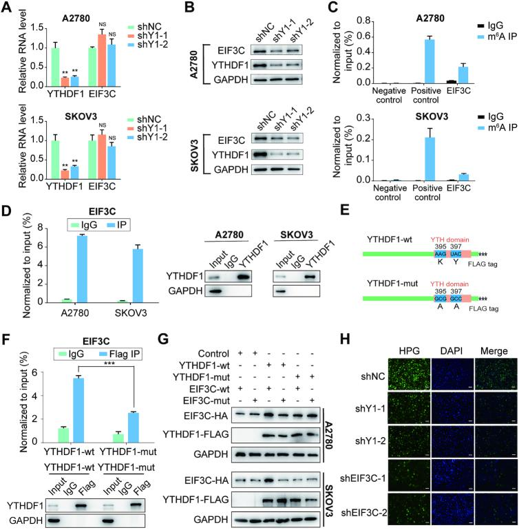 YTHDF1 regulates EIF3C translation in an m 6 A-dependent manner. ( A ) Relative RNA level of EIF3C in A2780 and SKOV3 upon YTHDF1 knockdown. ( B ) Western blot detected the protein level of EIF3C in A2780 and SKOV3 cells upon YTHDF1 knockdown. ( C ) Gene-specific m 6 A qPCR validation of m 6 A levels in A2780 and SKOV3 cells. Primers to m 6 A negative region of EEF1A as the negative control and primers to m 6 A postive region of EEF1A as the positive control. ( D ) YTHDF1 RIP followed by RT-qPCR confirmed the interaction between YTHDF1 and EIF3C mRNA. ( E ) Schematic representation of wild-type (YTHDF1-wt) and mutant (YTHDF1-mut) YTHDF1 constructs. ( F ) RIP-derived RNA and protein in A2780 cells were measured by RT-qPCR and western blot, respectively. GAPDH was used as the negative control in western blot assays. ( G ) Western blot confirmed HA-tagged EIF3C expression in A2780 or SKOV3 cells co-transfected with empty vector, wild-type or mutant Flag-tagged YTHDF1 and wild-type or mutant HA-tagged EIF3C. ( H ) Nascent protein synthesis was detected by HPG incorporation upon YTHDF1 knockdown or EIF3C knockdown in A2780 cells. Scale bar, 100 μm. Data are shown as means ± S.D. *P