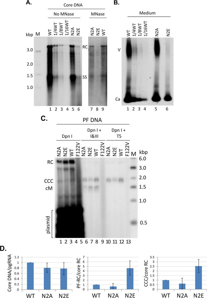 Effects of NTD phosphorylation mutants on core DNA and CCC DNA levels. HepG2 cells were transfected as in Fig 2 . A. Cytoplasmic lysate from the transfected cells was treated with SDS-proteinase K to release the HBV core DNA from NCs, which was then resolved on an agarose gel (1% agarose) (lanes 1–6). In addition, a portion of cytoplasmic lysate was digested first with MNase to remove input plasmid DNA (and any core DNA not protected by the capsid) before SDS-proteinase K treatment. The core DNA was then purified and resolved on an agarose gel (lanes 7–9). Core DNA was then detected by Southern blot analysis using an HBV DNA probe. M, DNA size marker in kilo-basepairs (kbp); PI, plasmid DNA; RC, RC DNA; SS, single-stranded DNA. B. Viral particles released into the culture supernatant of the transfected HepG2 cells were concentrated by PEG precipitation and resolved on an agarose gel (1% agarose). Following transfer to nitrocellulose membrane, HBV DNA associated with virions (V) or naked capsids (Ca) was detected by Southern blot analysis using an HBV DNA probe. To facilitate a more clear visualization of the degree of N2E deficiency in DNA synthesis and virion secretion, as compared to the WT, serial dilutions (1/4 th , 1/8 th , 1/16 th ) of the WT samples were loaded ( A and B , lanes 2–4). C. HBV PF DNA was extracted from the transfected HepG2 cells. The HBc F122V mutant (lane 4) defective in DNA synthesis was included as a negative control for PF DNA analysis. The extracted DNA was digested with Dpn I (to degrade the input plasmid DNA) (lanes 1–4), Dpn I plus the exonuclease I and III (I III) (lanes 5–8), or Dpn I plus the exonuclease T5 (T5) (lanes 9–12) before resolution on an agarose gel (1.2% agarose) and detection by Southern blot analysis using an HBV DNA probe. M, DNA size marker in kilo-basepairs (kbp); RC, RC DNA; CCC, CCC DNA; cM, closed minus strand DNA. All Southern blot images shown in A , B , and C were from phosphorimaging scan. D. Quantitative results from multiple experiments. Left, levels of core DNA were normalized to those of RNA packaging measured in Fig 2 ; middle, PF-RC DNA normalized to core RC DNA; right, CCC DNA normalized to core RC DNA. All normalized DNA values from the WT HBc were set to 1.0.