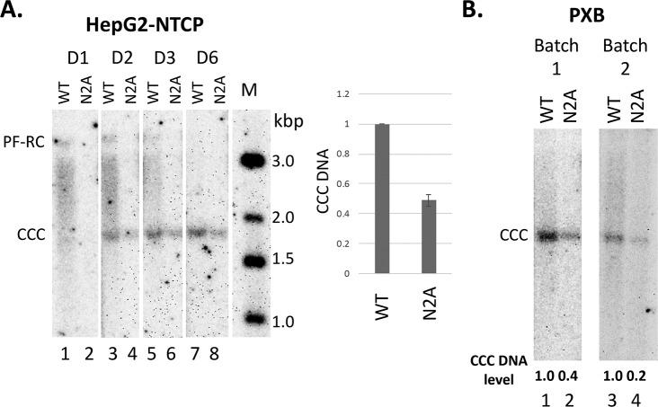 Effects of N2A on CCC DNA formation during infection. The WT or N2A mutant virus inoculum was prepared from transiently transfected Huh7 cells. The WT and N2A replicon constructs were transfected into Huh7 cells. The culture supernatant was harvested on day 5, 7 and 9 post-transfection, pooled and concentrated by PEG precipitation as described in the Methods. HepG2-NTCP and PXB cells were infected with the WT or N2A mutant virus. HBV PF DNA was extracted from the infected cells and measured by Southern blot analysis using a 32 P-labeled HBV DNA probe. The Southern blot images shown were from phosphorimaging scan. A. A representative Southern blot autoradiogram of PF DNA from HepG2-NTCP cells extracted at the indicated days post-infection. Quantitative analysis of CCC DNA levels at day three post-infection from multiple infection experiments is presented in the graph to the right, with the CCC DNA level from WT HBV infected cells set to 1.0. M, DNA m.w. markers in kbp; B. Representative Southern blot autoradiograms of PF DNA from two batches of PXB cells extracted three days post-infection. Relative CCC DNA levels are indicated at the bottom of the autoradiograms with the CCC DNA level from WT HBV infected cells set to 1.0.