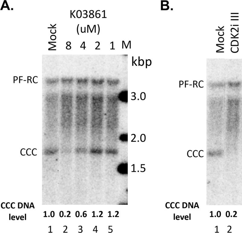 Effects of CDK2 inhibitors on CCC DNA formation during HBV infection. The PXB cells were infected with HBV and treated with the CDK2 inhibitor K03861 at the indicated concentrations (A) or CDK2 inhibitor III (CDK2i III; 125 nM) (B) at the same time. HBV PF DNA was extracted from the cells three days after infection and measured by Southern blot analysis using a 32 P-labeled HBV DNA probe. Shown are representative Southern blot autoradiograms (phosphorimaging scan) of PF DNA, with the relative levels of CCC DNA indicated at the bottom and CCC DNA level from the mock-treated cells set to 1.0.