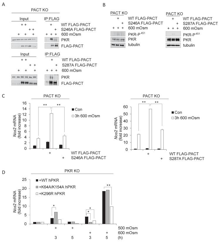 PACT Ser-246 and Ser-287 are necessary for PKR interaction and downstream inflammatory signaling. ( A ) PACT KO MEFs were reconstituted with FLAG-WT PACT or FLAG-S246A mutant PACT constructs, then treated with 600 mOsm sucrose for 3 hr. Proteins from total cell extracts or co-immunoprecipitated with the FLAG antibody were analyzed via western blot. ( B ) PACT KO MEFs were reconstituted with FLAG-WT PACT, FLAG-S246A, or FLAG-S287A mutant PACT constructs, then treated with 600 mOsm sucrose for 3 hr. Total lysates were analyzed via western blot. ( C ) PACT KO MEFs were reconstituted with FLAG-WT PACT or FLAG-S246A mutant PACT constructs, then treated with 600 mOsm sucrose for 3 hr. <t>RNA</t> was isolated, and Nos2 transcript levels were analyzed via <t>qPCR.</t> ( D ) PKR KO MEFs reconstituted with wild type PKR, PKR mutated at the RNA-binding residues (K64R/K154R), or kinase activity-deficient PKR (K296R) were treated with 500 or 600 mOsm sucrose for the indicated durations. RNA was isolated, and Nos2 transcript levels were analyzed via qPCR.