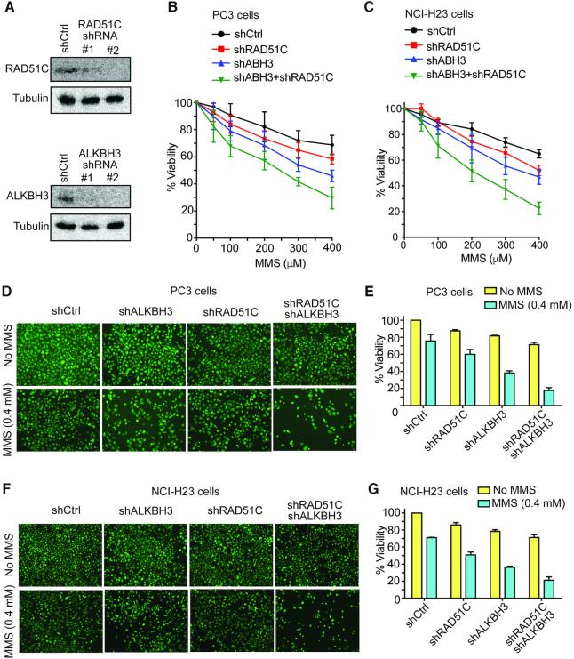 Stable knockdown of ALKBH3 and RAD51C results in severe MMS-induced cytotoxicity in PC3 and NCI-H23 cells. ( A ) HEK293T was transiently transfected with shRNA for 72 h. Knockdown of ALKBH3 and RAD51C was confirmed by western blotting with indicated antibodies. Effect of stable knockdown of ALKBH3 and RAD51C on ( B ) PC-3 and ( C ) NCI-H23. Cells with indicated shRNAs were exposed to various concentrations of MMS (0, 50, 100, 200, 300 and 400 μM) for 48 h; then cell viability was evaluated by MTT assay. Error bar represent the means ± SD of percentage cell viability from four representative experiments. ( D ) Analysis of MMS sensitivity using <t>Calcein-AM</t> assay. Representative images of intracellular Calcein AM esterase activity of PC-3 and ( F ) NCI-H23 cells. Cells were treated with MMS(400uM) for 48h and fluorescent images were captured using an inverted microscope. Bar chart represents the percentage (%) of MMS-induced cytotoxicity of ( E ) PC-3 and ( G ) NCI-H23 cells for the indicated shRNAs.