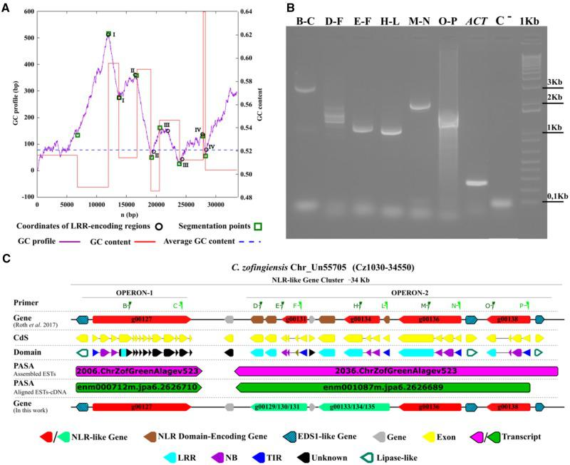 —Prediction and horizontally transferred genes and genomic characterization of the two functioning units of C. zofingiensis genomic <t>DNA</t> (operons). ( A ) The negative cumulative GC-profile (violet line) for the Cz1030-34550 region of C. zofingiensis Un55705 chromosome (corresponding to the NLR-like gene cluster reported in panel C ), marked with the segmentation points (green square) revealed. ( B ) Gel shows the genetic transcription of Cz NLRs and the molecular validation of two erroneously split Cz NLR genes (g00129/g00130/g00131 and g00133/g00134/g00135). The primer pairs (green triangles) designed in the Cz1030-34640 region are shown at the top. Control RT-PCRs amplifying a section of the Cz05g19160 locus (ACT) or a portion of the actinA mRNA sequence are also shown ( Lee et al. 2015 ). ( C ) A cluster of NLR genes (red arrows) containing the two operons located on the Cz1030-34550 region of chromosome Un55705.