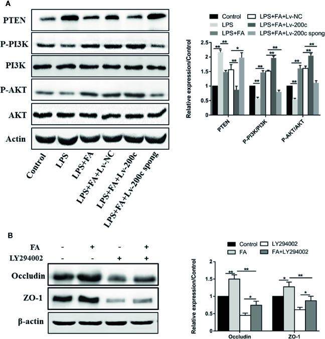 FA attenuated LPS-induced intestinal epithelial barrier dysfunction via activating miR-200c-3p-mediated PTEN/AKT pathway in Caco-2 cells. (A) Cells were transfected with Lv-200c, Lv-200c spong and Lv-NC at an MOI of 15 and incubated at 37°C with 5% CO 2 for 48 h, and then cells were pretreated with FA (100 μM) for 2 h and stimulated with LPS for 24 h. The expression levels of PTEN, PI3K, p-PI3K, AKT and p-AKT were evaluated using western blotting. (B) Caco-2 cells were pretreated with 10 μM LY294002 for 1 h and then treated with 100 μM FA for 2 h. The expression levels of occludin and ZO-1 proteins were evaluated using Western blotting. Data were presented as means ± SD from three independent experiments and differences between means were compared using one-way ANOVA with Tukey's multiple comparisons test. * P