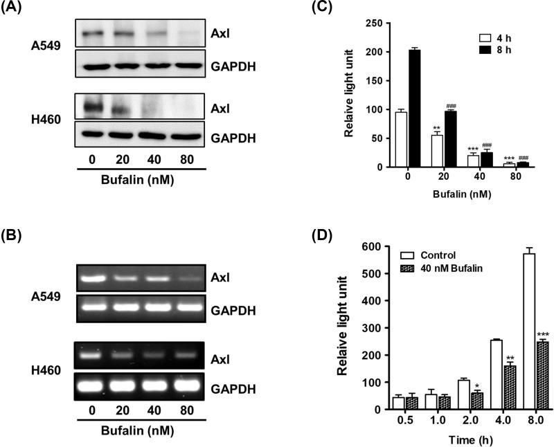 Bufalin reduces Axl protein level and suppresses promoter activity ( A ) Cells (3 × 10 5 cells/ 60 mm dish) were treated with 20, 40, or 80 nM bufalin for 24 h. Axl protein levels were determined by Western blot analysis. ( B ) For RT-PCR, total RNAs extracted from the cells treated with the indicated concentrations of bufalin for 8 h were used to measure Axl mRNA levels. ( C ) To examine the effect of bufalin on Axl promoter activity, H460/pGL3-Axl cells (3 × 10 4 cells) were incubated with 20, 40, or 80 nM bufalin for 4 or 8 h, and the luciferase activities were then measured (** P