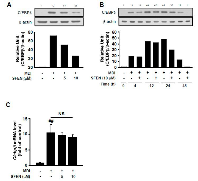 Effect of sulforaphene (SFEN) on differentiation medium-induced C/EBPβ expression in 3T3-L1 pre-adipocytes. ( A ) Western blot analysis indicated that SFEN attenuated the protein expression levels of C/EBPβ (35 kDa) and β-actin (43 kDa) as housekeeping gene in a dose-dependent and ( B ) time-dependent manner. ( C ) The gene expression levels of C/ebpβ and β-actin as housekeeping gene in 3T3-L1 pre-adipocytes were determined using real-time PCR. 3T3-L1 pre-adipocytes were seeded in 6 cm dishes at a density of 0.75 × 10 4 cells per cm 2 . Confluent cells were incubated for two days in mouse adipocyte differentiation medium (MDM) with or without SFEN at a concentration of 5 or 10 μΜ. ( A , C ) At 48 h and ( B ) 4, 12, 24, and 48 h after the addition of MDM, ( A , B ) the cells were harvested by using 80 μL of RIPA buffer per dish to prepare samples for western blotting to determine the expression level of C/EBPβ. 40 μg of protein was loaded per lane on 10% gel. ( C ) The mature adipocytes were harvested for qPCR and 1 μg of RNA was used for the synthesis of cDNA. Data were obtained from three independent experiments. For Figure 4 B, similar data were obtained from an independent repeated experiment. Data are expressed as the means ± standard deviation ( n = 3). ##, significant difference between the control and the MDM control by ( p