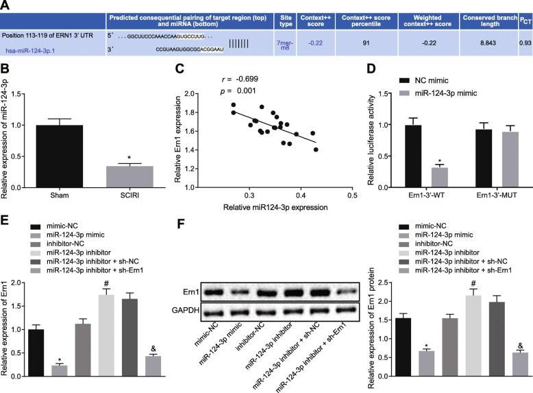 Ern1 was targeted by miR-124-3p. a Possible target genes of miR-124-3p predicted by bioinformatic analysis. b Expression of miR-124-3p in SCIRI tissues detected by RT-qPCR, * p