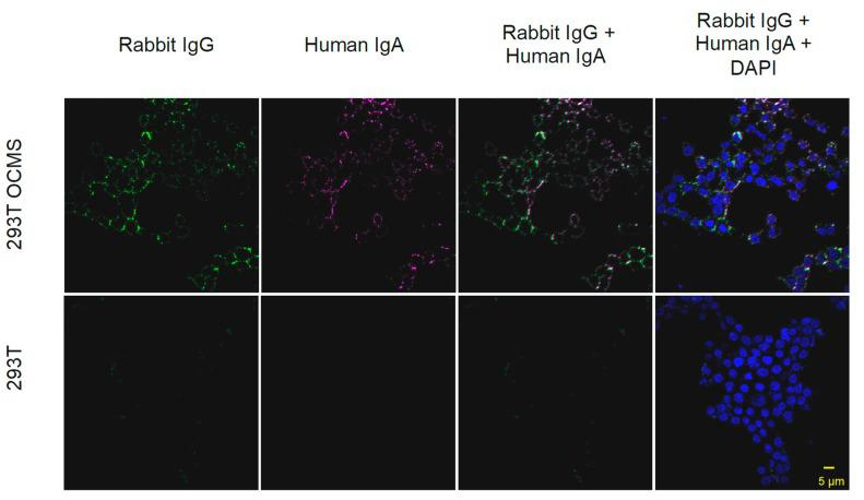 Expression of recombinant IgA in 293T OCMS cells. 293T OCMS ( top row ) and 293T ( bottom row ) cells were transiently transfected with plasmids encoding recombinant 1G1 IgA HC and LC genes. The next day, the cells were incubated overnight with the rabbit anti-human IgA mAb (Linker). Bound Linker was detected with Alexa-Fluor 488 anti-rabbit IgG secondary antibody (green). Captured human IgA was labeled with Alexa-Fluor 647 anti human IgA (magenta). Nuclei were stained with DAPI (blue). Scale bar = 5 µm.