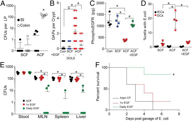 Luminal EGF protects against bacterial translocation and susceptibility to bloodstream infections. ( A ) CFUs in lamina propria of small intestine or colon following gavage of 2 × 10 5 CFUs of E. coli BSI-A nalR in ACF mice. ( B ) Counts of GAPs per colon crypt in SCF or ACF mice and gavaged with EGF (10 ng/mL) or vehicle. ( C ) Concentration of phosphorylated EGFR per colon epithelial fraction as measured by ELISA. GAPs (black), ACF given a single gavage of recombinant murine EGF at the time of infection (red), or ACF mice given daily gavages of EGF (green). ( D ) Percentage of GCs or IECs containing E. coli BSI-A nalR . ( E ) CFUs in stool, mesenteric lymph node (MLN), spleen, and liver in the days following gavage of 2 × 10 5 CFUs of E. coli BSI-A nalR in ACF mice treated with EGF. ( F ) Survival of ACF mice following gavage of 2 × 10 5 CFUs of E. coli BSI-A nalR in ACF mice (black), ACF gavaged with EGF (10 ng/mL) at the time of infection (red), or ACF mice given daily gavages of EGF (10 ng/mL) (green). n = 4 mice in A , n = 4 mice in B – D . n = 5 in E . n = 6 mice per group in F . Individual data points plotted in A – E with mean and SD plotted per group. Statistics used: one-way ANOVA ( A – E ), Kaplan–Meier ( F ), *denotes statistical significance, P