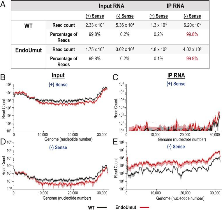 RNA-seq analysis of input viral RNA and RNA immunoprecipitated with anti-dsRNA antibody K1. IFNAR −/− BMDMs were infected with WT or EndoUmut virus at an MOI of 1. At 6 hpi, RNA was purified, mixed with anti-dsRNA antibody, precipitated with protein G beads, and purified off the beads. Input RNA and immunoprecipitated RNA samples were evaluated by RNA-seq. ( A ) Summary of RNA reads mapped to MHV-A59 genome. Values in tables are the means of three biological triplicates. ( B – E ) Total reads mapped to the viral genome. Reads were mapped to the positive-sense (+) RNA from ( B ) input RNA and ( C ) immunoprecipitated RNA. Reads were mapped to the negative-sense (−) RNA from ( D ) input RNA and ( E ) immunoprecipitated RNA. Read counts were quantified for each nucleotide of the genome, then averaged into bins of 200 nucleotides for three biological triplicates. The black (WT) and red (EndoUmut) lines represent the mean of each bin, and shaded regions are the SD from the mean. Data are representative of two independent experiments.