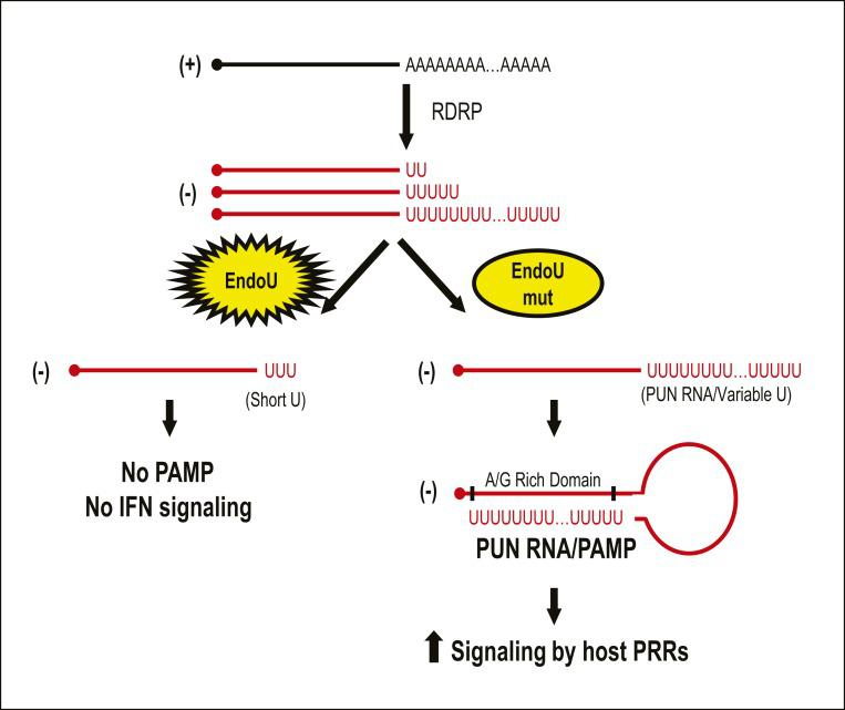Model depicting EndoU cleavage of PUN RNAs. This model depicts how EndoU activity limits the generation of PUN RNA, which can act as a PAMP. We found that PUN RNAs with variable lengths of polyU sequences are generated in the absence of EndoU activity. We predict that these PUN RNAs can fold back and generate stem−loop structures by hybridizing with an A/G-rich domain located within the PUN RNA or on adjacent RNAs. This stem−loop structure may be recognized as dsRNA by host PRRs, thus stimulating the host innate immune response. The function of EndoU during replication is to reduce the length of polyU sequences, thus limiting the potential for generating PAMPs.