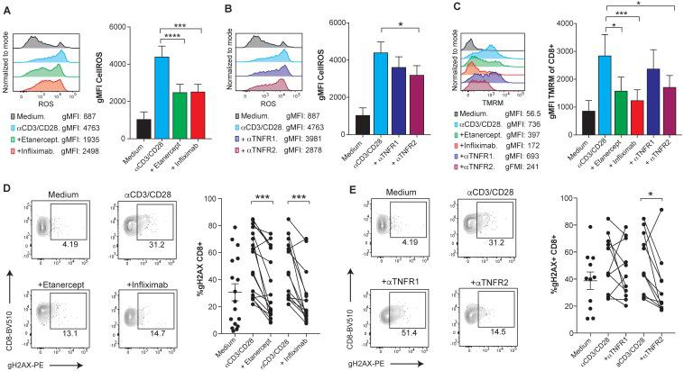 TNFR2 stimulation on human CD8 T cells increases ROS production via mitochondrial hyperpolarization and causes DNA damage. PBMCs from healthy donors were activated with plate-bound anti-CD3 and soluble anti-CD28 mAbs for seven days in the presence or absence of blocking TNF agents. Flow cytometry assessment of intracellular ROS geometric mean fluorescence in FACs-gated CD8 T cells stimulated in the presence or absence of etanercept or infliximab (A) , or selective blocking antibodies against TNFR1 or TNFR2 (B) (n=8). C , Flow cytometry measurement of TMRM geometric mean fluorescence of FACs-gated CD8 T cells that were stimulated in the presence or absence of TNF blocking agents (n=8). DNA damage was measured by intracellular staining of phosphorylated gH2AX on FACs gated CD8 T cells in the presence or absence of etanercept (n=17) or infliximab (n=14) (D) , or selective blocking antibodies against TNFR1 or TNFR2 (E) (n=12). CD8 T cells were pre-gated on Live+/CD3+/CD4-. Data for A-C are mean ± s.e.m. and P values were calculated using one-way ANOVA with Tukey's multiple comparsisions test. In D and E, the samples were compared by a paired two-tailed t-test.