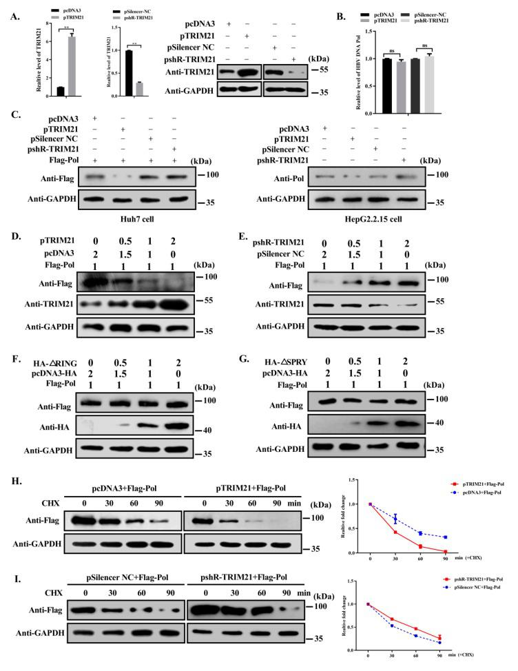 TRIM21 negatively regulates the stability of HBV DNA Pol. ( A ) Huh7 cells were transfected with TRIM21 overexpression or knockdown plasmids or control, and the level of TRIM21 mRNA or protein in the cells was detected by RT-qPCR and Western blot. ( B ) FLAG-HBV DNA Pol was cotransfected with TRIM21 overexpression or knockdown plasmid. The mRNA level of HBV DNA Pol was detected by RT-qPCR. ( C ) Huh7 cells were transfected as described in ( B ), and HepG2.2.15 cells were transfected with TRIM21 overexpression or knockdown plasmids. Western blot was used to detect the protein level of HBV DNA Pol with anti-FLAG antibody or anti-Pol antibody. ( D ) Huh7 cells were transfected with FLAG-HBV DNA Pol along with increasing amounts of TRIM21 expressing plasmid, and WWestern blot was used to detect the protein level of HBV DNA Pol. ( E ) As described in ( C ), except for using pshR-TRIM21 plasmid. ( F ) As described in ( C ), except for using TRIM21-ΔRING plasmid. ( G ) As described in ( C ), except for using TRIM21-ΔSPRY plasmid. ( H ) Huh7 cells were cotransfected with FLAG-HBV DNA Pol and pcDNA3 or TRIM21 plasmid. Thirty hours later, 100μg/ml cycloheximide was used to treat cells, and the protein level of HBV DNA Pol was detected by Western blot. ( I ) Huh7 cells were cotransfected with FLAG-HBV DNA Pol and pSilencer NC or pshR-TRIM21. The treatment was the same as in ( H ). Data are representative of three independent experiments with three replicates each.
