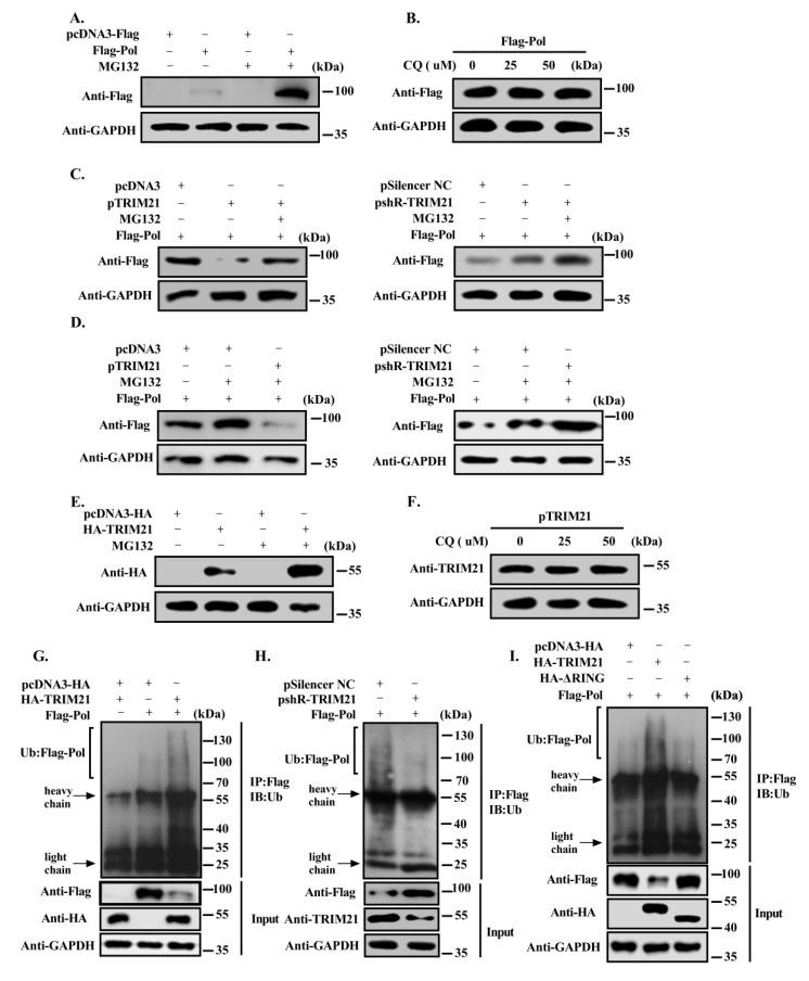 TRIM21 promotes the degradation of HBV DNA Pol through the ubiquitin proteasome pathway via its RING domain. ( A ) Huh7 cells were transfected with FLAG-HBV DNA Pol expression plasmid. After 30 h, the cells were treated with 20 μM MG132 for 8 h, and Western blot was used to detect the protein level of HBV DNA Pol. ( B ) The cells were transfected as described in ( A ) except for using 0, 25 or 50 μM chloroquine to treat the cells for 6h. ( C ) FLAG-HBV DNA Pol was cotransfected with pcDNA3/pTRIM21 (left panel) or pSilencer-NC/shR-TRIM21 (right panel) in Huh7 cells, and MG132 treatment conditions were the same as in ( A ). Then, Western blot was used to detect the protein level of HBV DNA Pol. ( D ) Huh7 cells were cotransfected with FLAG-HBV DNA Pol and pcDNA3 (left panel)/pSilencer-NC (right panel) and treated with MG132 as described in ( A ), or cotransfected with pTRIM21 (left panel)/shR-TRIM21 (right panel). The protein level of HBV DNA Pol was analyzed by Western blot. ( E ) Huh7 cells were transfected with TRIM21 overexpression plasmid, and MG132 treatment was the same as in ( A ). Then, Western blot was used to detect the protein level of TRIM21. ( F ) The same as in ( B ), except for using chloroquine, and the cells were transfected as described in ( E ). ( G ) Huh7 cells were cotransfected with FLAG-HBV DNA Pol and pcDNA3 or HA-TRIM21, and the cells were treated with 10 μM MG132. Subsequently, anti-FLAG antibody was used to precipitate the proteins for ubiquitination analysis. ( H ) The same as in ( G ), except for pSilencer-NC and shR-TRIM21, which were separately cotransfected with FLAG-HBV DNA Pol. ( I ) Huh7 cells were cotransfected FLAG-HBV DNA Pol with wild-type TRIM21, TRIM21-ΔRING or pcDNA3. The ubiquitin antibody was used to detect the ubiquitination level of HBV DNA Pol, and the anti-FLAG antibody was used to detect the protein level. Data are representative of three independent experiments with three replicates each.