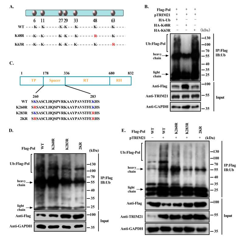 TRIM21 mediates the K48-linked ubiquitination of HBV DNA Pol at K260 and K283. ( A ) A schematic diagram of the lysine point mutations of ubiquitin. ( B ) Overexpression of HBV DNA Pol and TRIM21 in Huh7 cells cotransfected with HA-ubiquitin, Ub-K48R or Ub-K63R mutants. A ubiquitination assay and Western blot were used to detect the ubiquitination and protein level of HBV DNA Pol. ( C ) Schematic of the potential ubiquitination sites of HBV DNA Pol. ( D ) Huh7 cells were transfected with FLAG-HBV DNA Pol or its lysine point mutants, and ubiquitination assays were used to analyze the ubiquitination level of HBV DNA Pol and its lysine mutants. ( E ) TRIM21 and FLAG-HBV DNA Pol or its lysine mutants were cotransfected into Huh7 cells, and the effect of TRIM21 on the ubiquitination level of HBV DNA Pol and its lysine mutants was detected by ubiquitination assay. Data are representative of three independent experiments with three replicates each.
