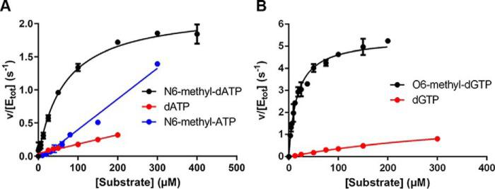 Kinetic characterization of MTH1-catalyzed hydrolysis of dATP, N6-methyl-dATP, N6-methyl-ATP, dGTP, and O6-methyl-dGTP. A, substrate saturation curves of MTH1 (1 n m ) were produced using MTH1 reaction buffer (pH 7.5). Initial rates were determined at dATP concentrations varied between 0 and 200 μ m and between 0 and 300 μ m for N6-methyl-dATP and N6-methyl-ATP, respectively, and for dGTP and O6-methyl-dGTP ( B ) using 0–300 and 0–200 μ m , respectively. Formed PP i was detected using PPiLight TM Inorganic Pyrophosphate Assay (Lonza) and the assay signal was converted to concentration of PP i by including a PP i standard curve on the assay plate.