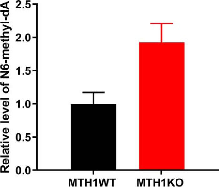 N6-methyl-dATP is incorporated into DNA in an MTH1-dependent manner. DNA was extracted from zebrafish MTH1KO and MTH1WT embryos developed from fertilized zebrafish eggs microinjected with N6-methyl-dATP or left untreated. DNA was analyzed for N6-methyl-dA content using LC-MS/MS. N6-methyl-dA content was normalized to N6-methyldA levels in untreated MTH1KO and MTH1WT zebrafish embryos, respectively. N6-methyl-dATP microinjected MTH1KO zebrafish embryos display a 2-fold higher N6-methyl-dA level compared with untreated embryos, whereas N6-methyl-dA DNA levels in MTH1WT zebrafish did not differ between untreated and N6-methyl-dA–microinjected embryos. This suggests that N6-methyl-dATP is incorporated into DNA and incorporation can be prevented by MTH1. The graph shows mean ± S.D., n = 2.